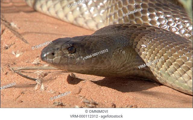CU Mole snake / Kalahari Desert, South Africa