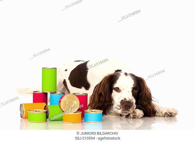 English Springer Spaniel. Adult dog lying next to tin cans. Studio picture against a white background. Germany