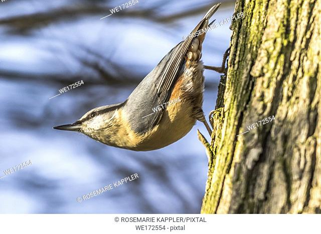 Germany, Saarland, Homburg - A nuthatch on the tree is searching for fodder