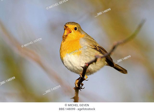 European Robin perched in thornbush
