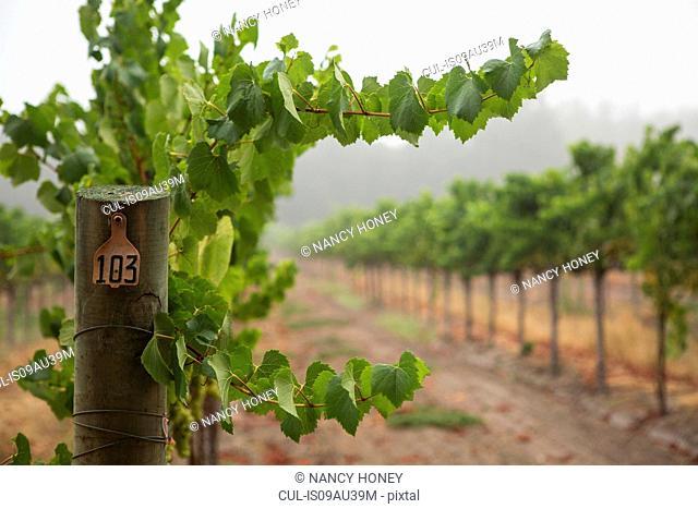 Rows of grapevines in vineyard, Sebastapol, California, USA
