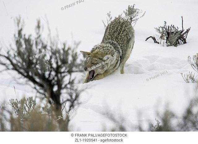 Coyote Canis latrans Big stretch after hunting along roadside at Yellowstone National Park. Mammoth Hot Springs, Wyoming, USA