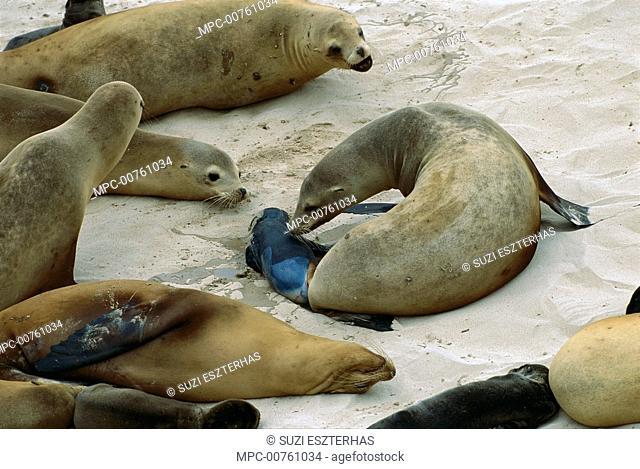 California Sea Lion (Zalophus californianus) female giving birth, San Miguel Island, Channel Islands National Park, California