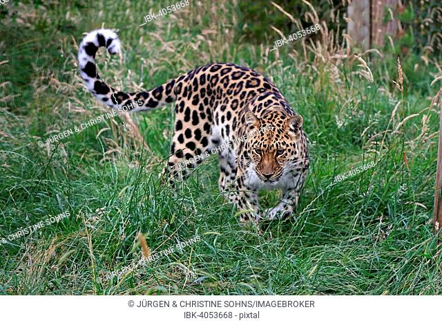 Amur Leopard (Panthera pardus orientalis), adult, stalking, native to Asia, captive, England, United Kingdom