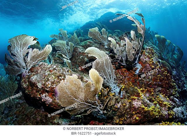 Coral reef with strong waves and currents, Venus sea fan (Gorgonia flabellum), Little Tobago, Speyside, Trinidad and Tobago, Lesser Antilles, Caribbean Sea