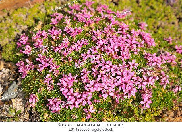 Moss Campion (Silene acaulis)