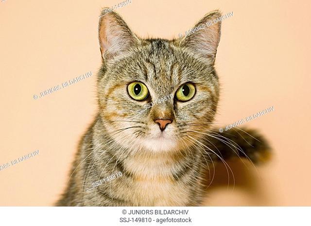 domestic cat - portrait restrictions: Tierratgebebücher, Kalender / animal guidebooks, calendars