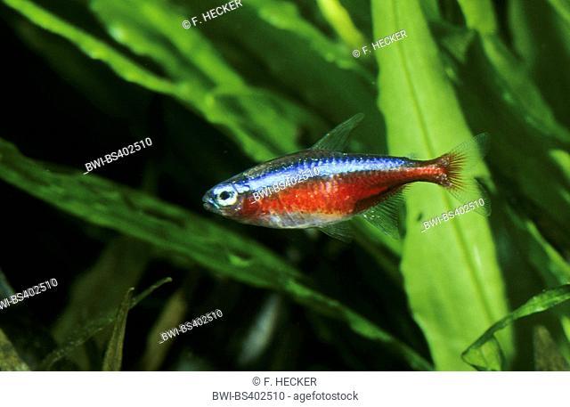 Cardinal tetra (Paracheirodon axelrodi, Cheirodon axelrodi, Hyphessobrycon cardinalis), swimming