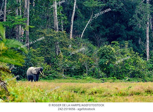 African forest elephant (Loxodonta cyclotis). Odzala-Kokoua National Park. Cuvette-Ouest Region. Republic of the Congo