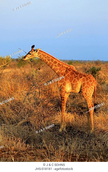 Cape Giraffe, (Giraffa camelopardalis giraffa), young feeding, Kruger Nationalpark, South Africa, Africa