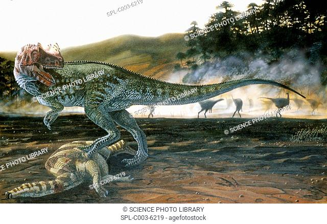 Ceratosaurus dinosaur. Artwork of a Ceratosaurus Ceratosaurus nasicornis with prey. This carnivorous theropod dinosaur lived in the Late Jurassic Period 150-135...