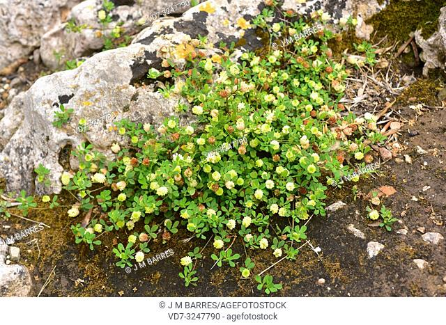 Field clover or hop trefoil (Trifolium campestre) is an annual herb native to central and southern Europe, north Africa and western Asia