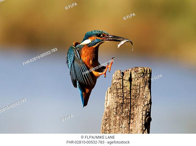 Common Kingfisher Alcedo atthis adult, in flight, with fish in beak, landing on post, Midlands, England, november
