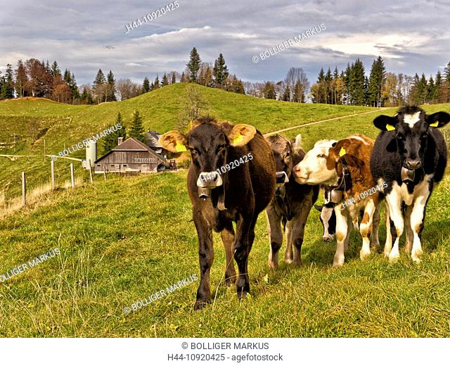 alp, shieling, alpine pasture, Emmental, agriculture, autumn, fall, canton Bern, cow, cattle, Lüderenalp, dairy, dairying, dairy farming, dairy farm