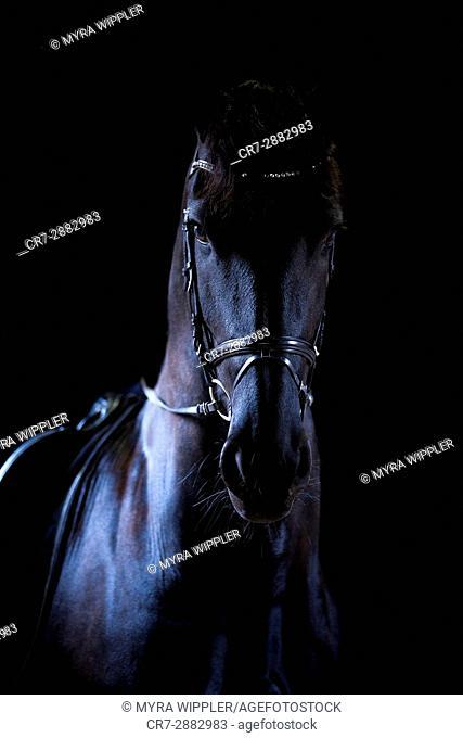 Friesian horse in the dark