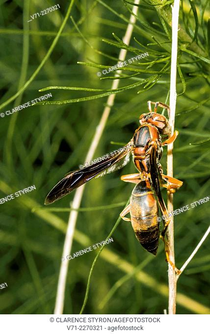 Paper Wasp (Polistes annularis) Collecting Fibers for Nest on Dog-Fennel (Eupatorium capilifolium) Stem