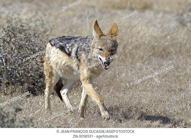 Black-backed jackal (Canis mesomelas) walking in short dry grass, Etosha National Park, Namibia, Africa