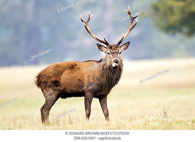 Red deer stag (cervus elaphus) portrait with its tongue sticking out, Windsor Great Park, Berkshire,England,UK