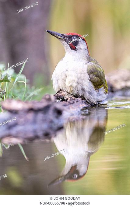 European Green Woodpecker (Picus viridis) beside a pool, Hungary, Bekes, Koros-Maros National Park