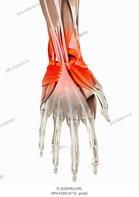 Human wrist, computer artwork