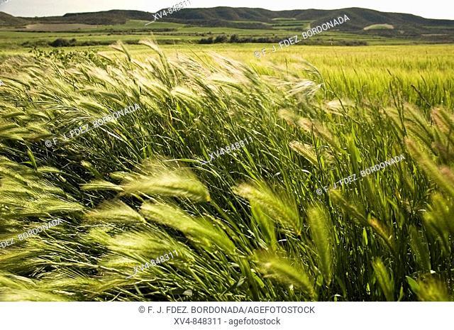 El viento de primavera mueve las espigas del trigo en los Campos de cereal de Monegros, Leciñena, Zaragoza
