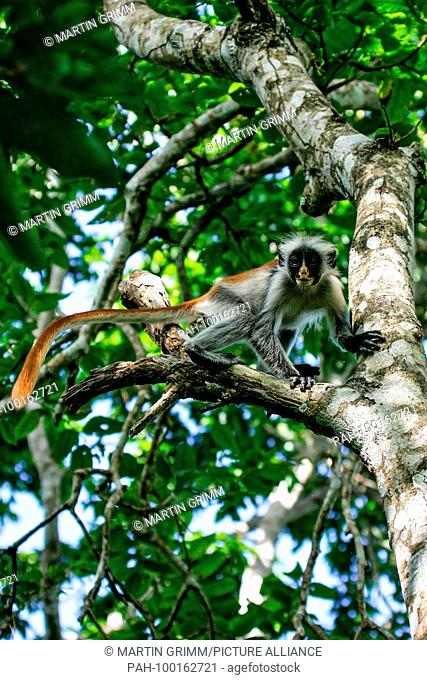 Zanzibar Red Colobus (Piliocolobus kirkii) male climbing in rainforest canopy, Jozani Chwaka Bay National Park, Zanzibar, Tanzania | usage worldwide