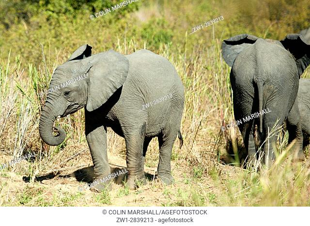 Elephant (Loxodonta africana) calvf in grass, Kruger National Park, Transvaal, South Africa