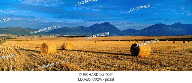 Hay Bales on Summer Wheat Fields  Tulbach, Boland, Western Cape Province, South Africa