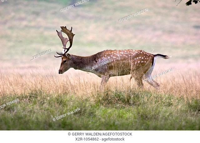 Fallow deer buck dama dama with a fine set of antlers photographed in Petworth Park, Sussex within the South Downs National Park