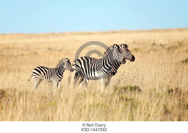 Family Group of Plains zebra Equus quaggai, South Africa