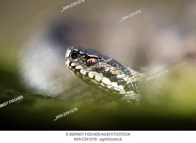 Adder (Vipera berus), curled up, female, Bavaria, Germany