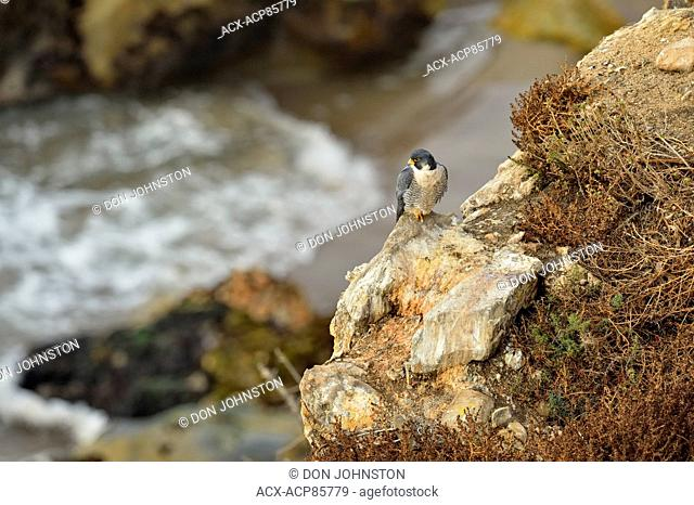 Peregrine Falcon (Falco peregrinus) Perched on seaside cliffs, Pismo Beach, California, USA