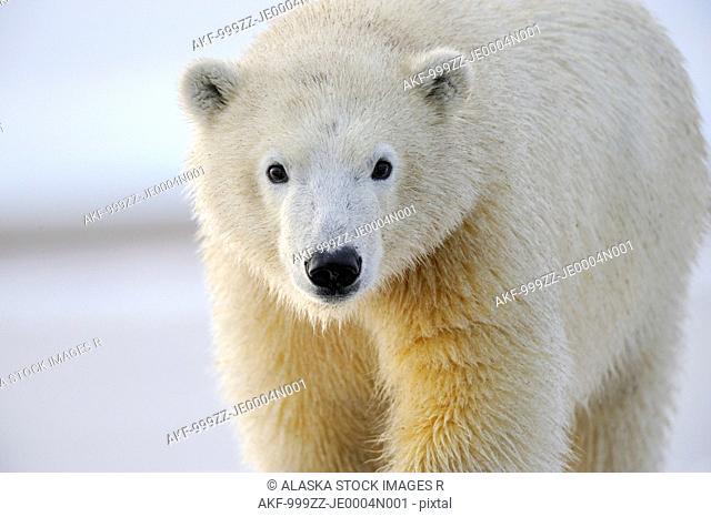 Portrait of a sub adult polar bear near Kaktovik on the northern edge of ANWR, Arctic Alaska, Fall