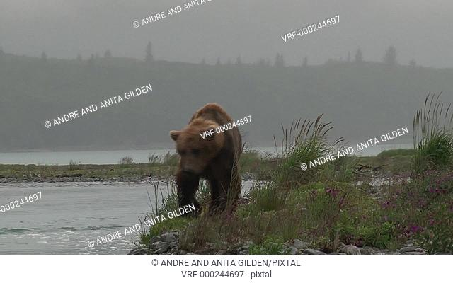 Grizzly Bear approaching camera while walking through purple flowers