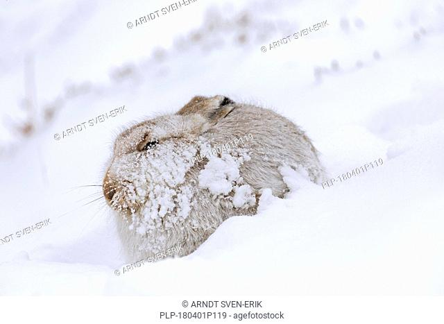 Mountain hare / Alpine hare / snow hare (Lepus timidus) in white winter pelage resting on hillside during snowstorm