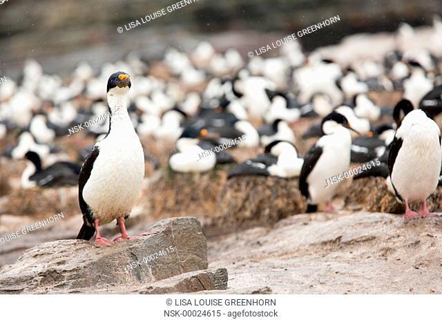 King Cormorant (Phalacrocorax atriceps) standing proudly at colony, Falkland Islands, Sea Lion Island
