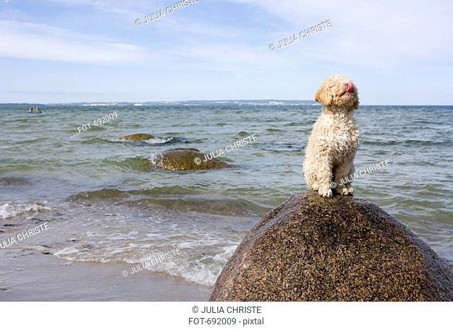 Spanish Waterdog sitting on a rock by the sea