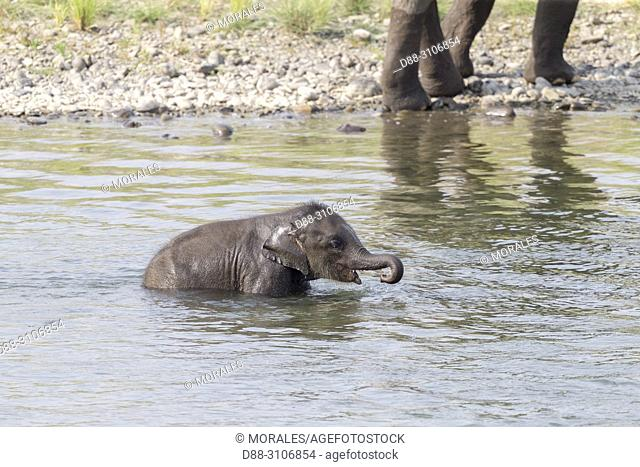 Asia, India, Uttarakhand, Jim Corbett National Park, Asian or Asiatic elephant (Elephas maximus), baby in the water