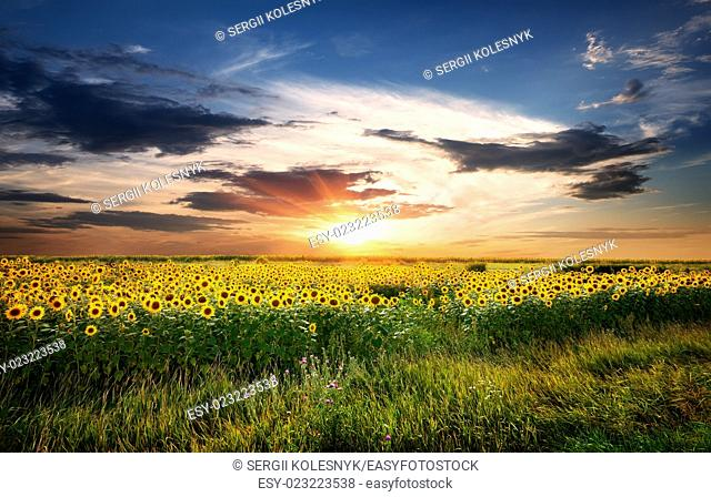 Field of yellow blossoming sunflowers at sunrise