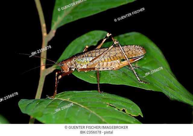 True katydid (Pseudophyllinae), Tiputini rainforest, Yasuni National Park, Ecuador, South America