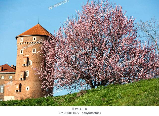 The flourishing plum tree and Sandomierska Tower at the Wawel Royal Castle in Krakow, Poland