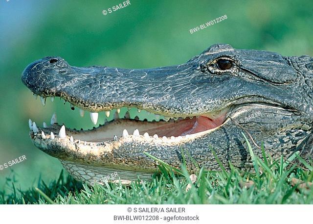 American alligator Alligator mississippiensis, adult, Jan 98
