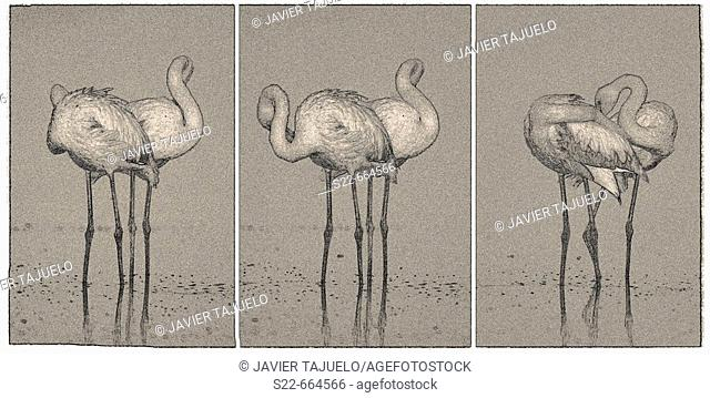 Greater Flamingos (Phoenicopterus ruber). Toledo province, Castilla-La Mancha, Spain