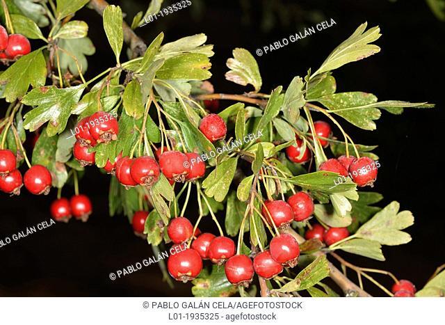Crataegus monogyna, leaves and fruits