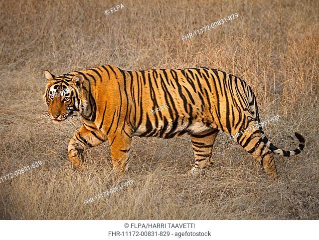 Indian Tiger (Panthera tigris tigris) young male, walking in dry grass, Ranthambhore N.P., Rajasthan, India, February