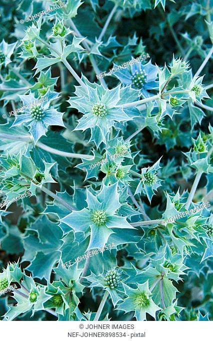 Prickly plants, Portugal