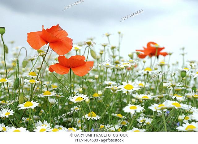Common poppy, papaver rhoeas, and scenless mayweed, matricaria perforater, Norfolk, UK, June