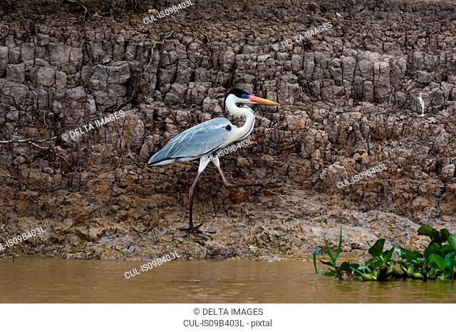 Cocoi Heron (Ardea cocoi) on muddy riverbank, Pantanal, Mato Grosso, Brazil