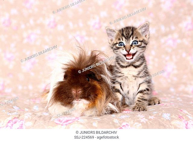 Tabby kitten and Longhaired Guinea Pig sitting next to each other. Studio picture seen against a floral design wallpaper. Germany