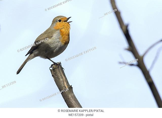 A robin redbreast is searching for fodder. Germany, Saarland, Homburg